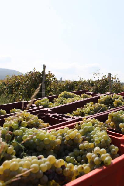 Wine Grape Harvest in Georgia stock photo