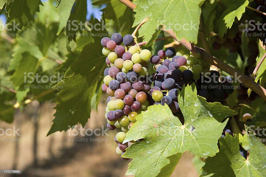 Wine grape stock photo
