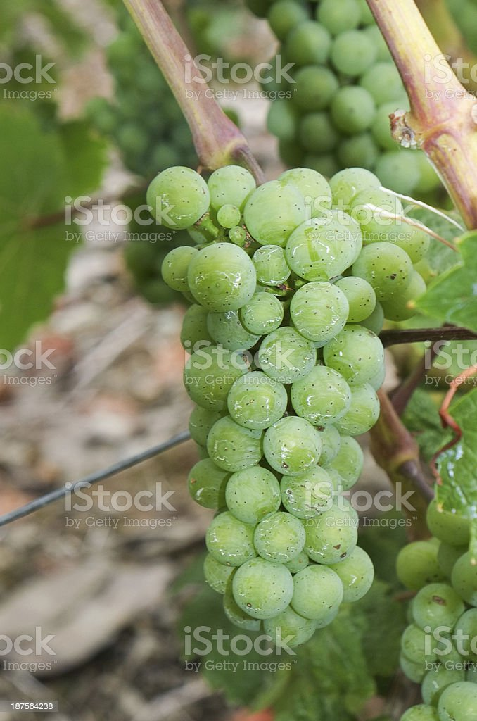 Wine grapes growing on the vine royalty-free stock photo