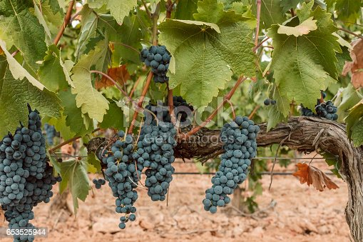 924487256 istock photo Wine grapes hanging from vine in vineyard 653525944