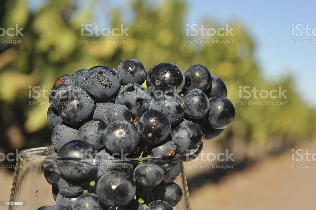 Wine grapes in a glass too early royalty-free stock photo