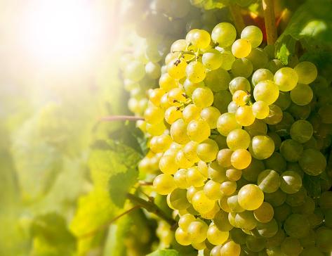 Wine grapes in the famous Wachau (Spitz), Lower Austria