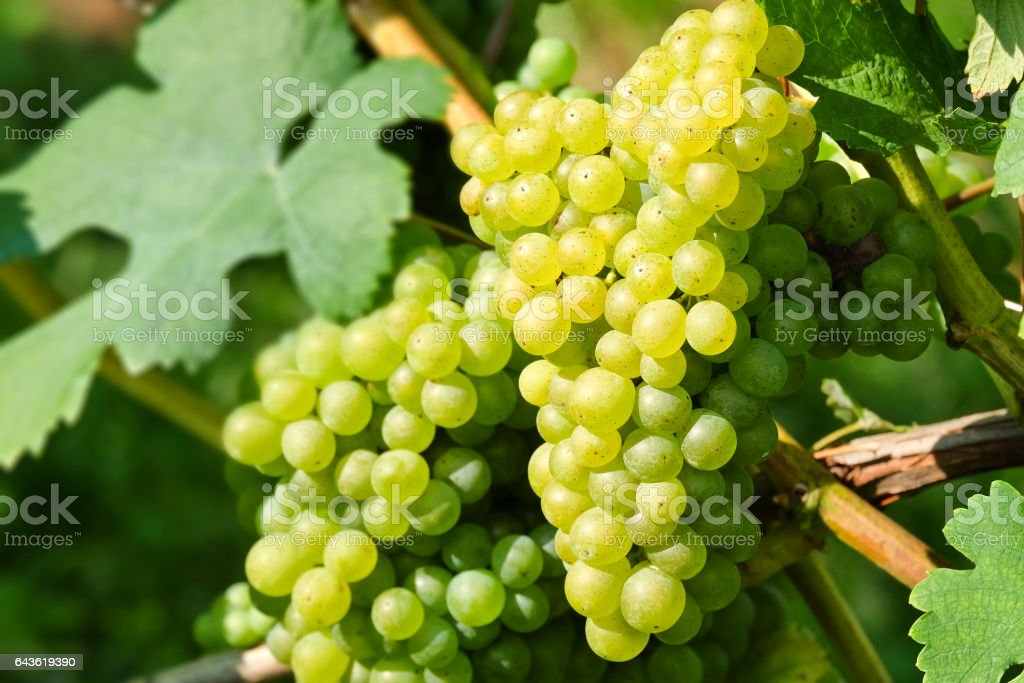 Wine grapes in the famous Wachau (Spitz), Lower Austria stock photo