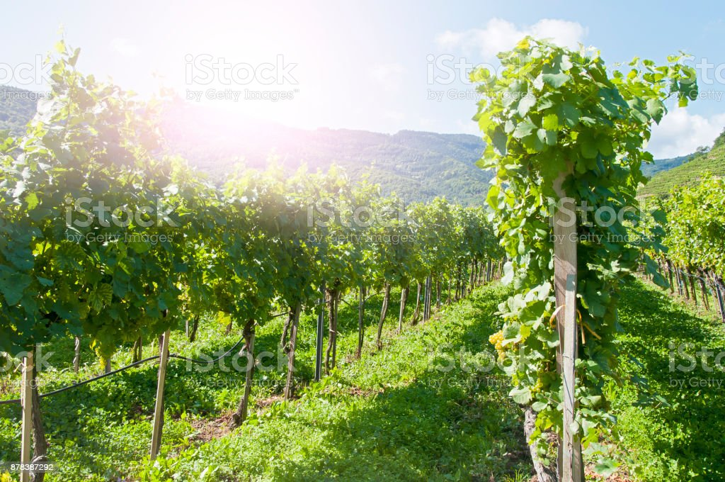 Weintrauben in der berühmten Wachau (Spitz), Niederösterreich – Foto