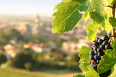 Ripe grapes on vine overlooking small French village.