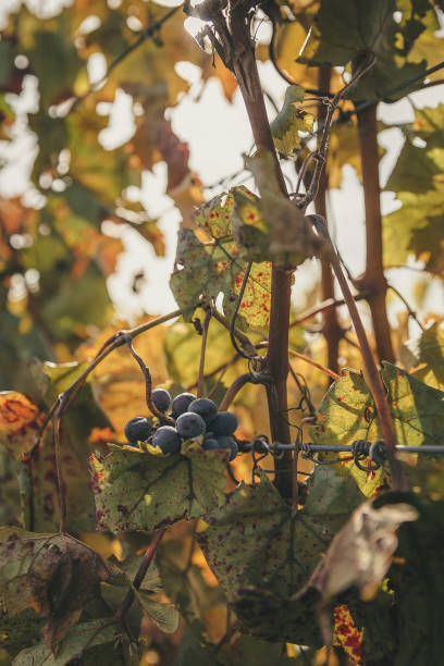 Wine grapes on the vine stock photo