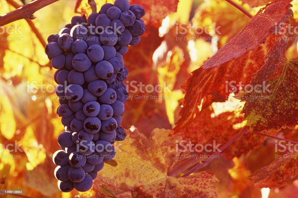 Wine Grapes royalty-free stock photo