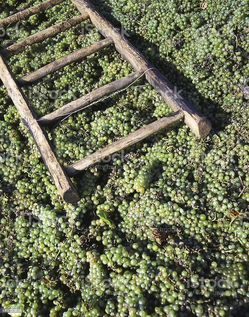 wine grapes with stepladder stock photo