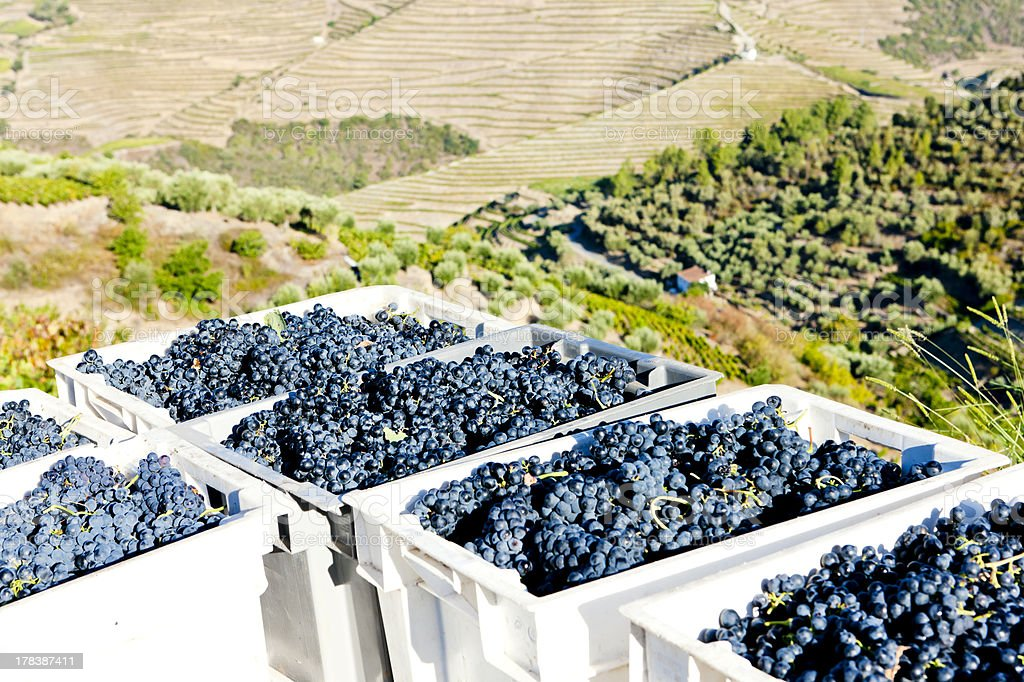 wine harvest stock photo
