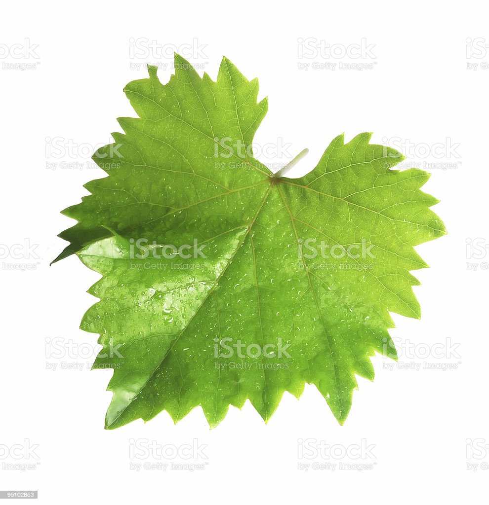 wine leaf stock photo