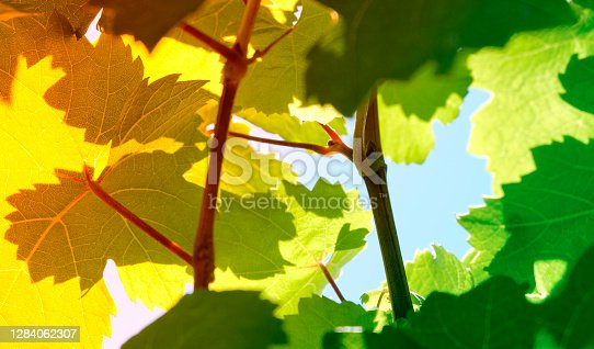 In the Vineyard, wine leafes against the blue sky