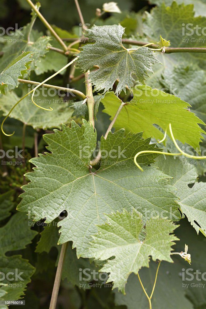 Wine leafs royalty-free stock photo