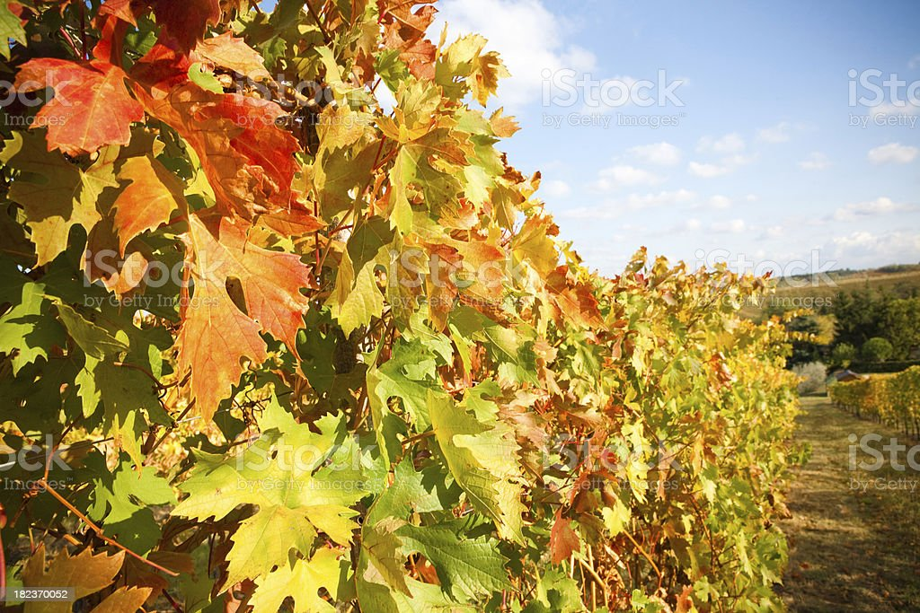 """Wine leaves II """"Red, yellow and green leaves See also"""" Agricultural Field Stock Photo"""