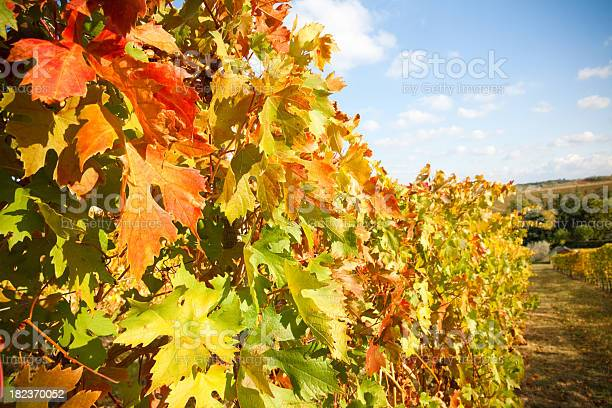 Wine Leaves Ii Stock Photo - Download Image Now
