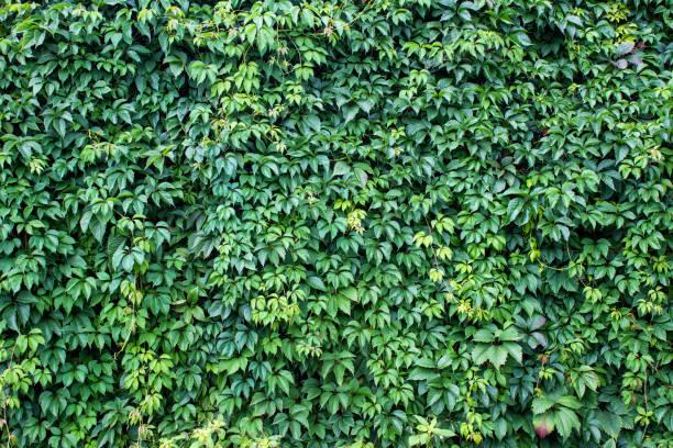 wine leaves - ivy building imagens e fotografias de stock