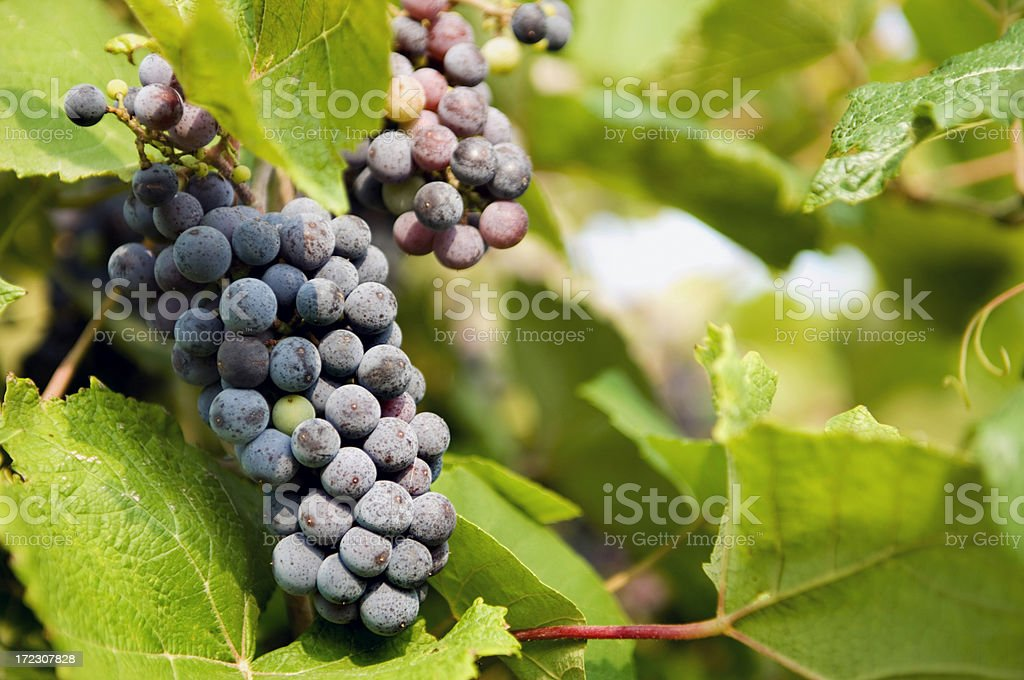 Wine on the Vine stock photo