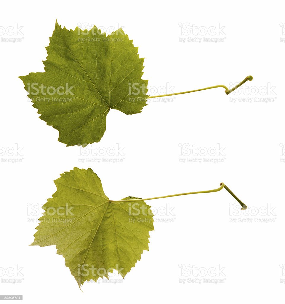 wine. one leaf - two sides royalty-free stock photo