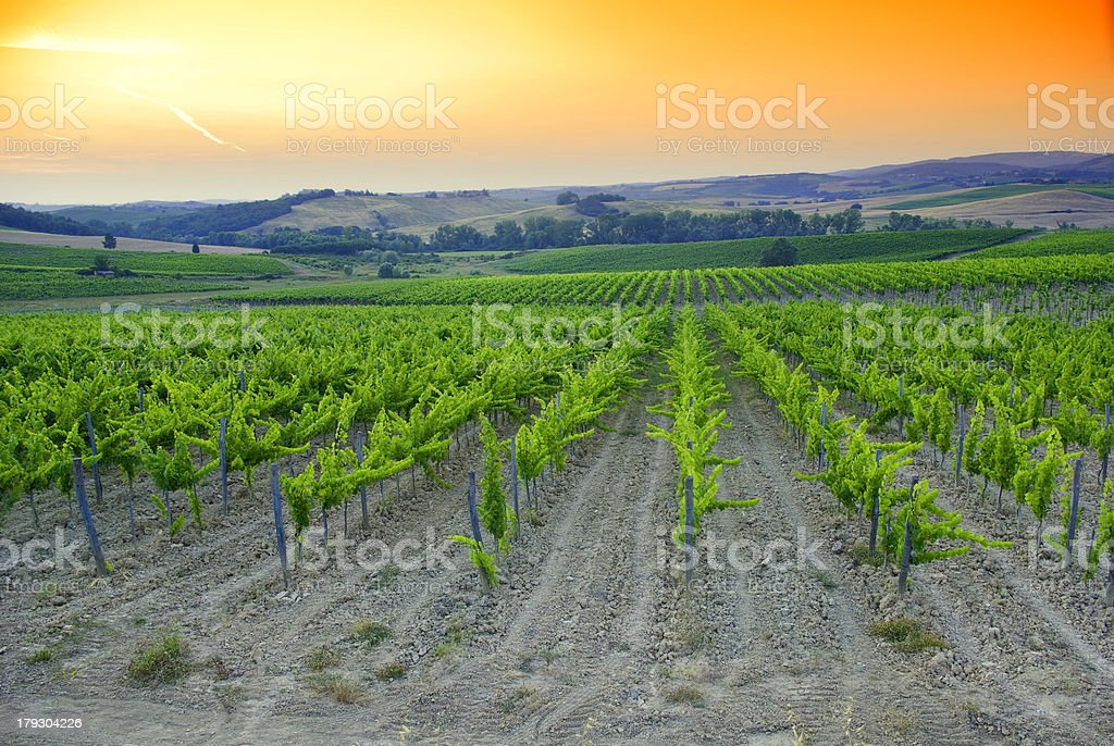 Wine tree, chianti royalty-free stock photo