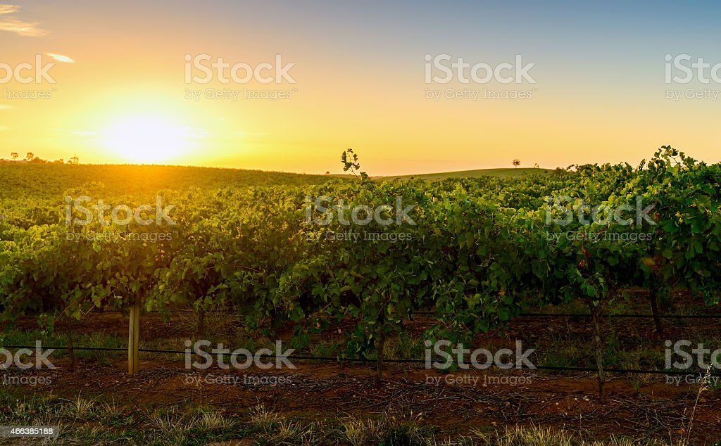 Wine valley at sunset stock photo