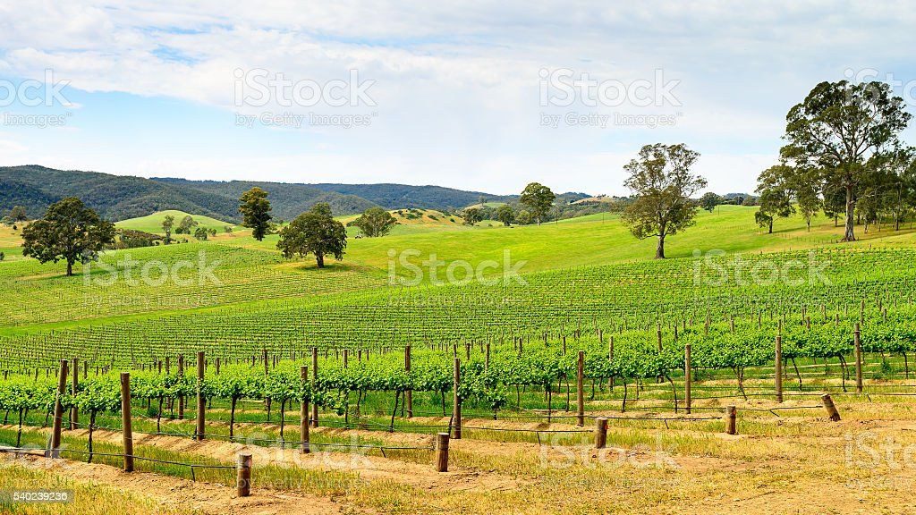 Wine valley in Barossa stock photo