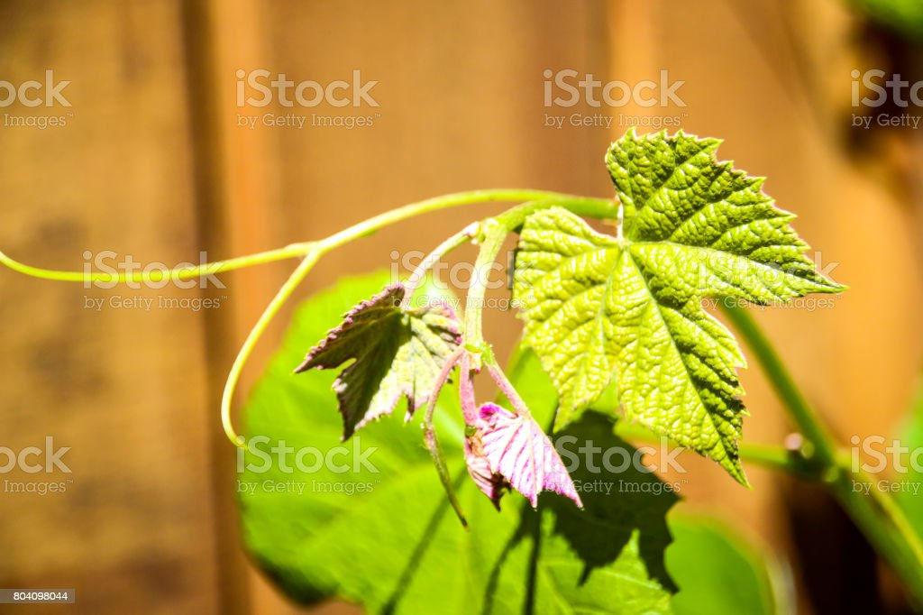 Wine Vine stock photo
