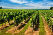 Winery grapes on a farm in Niagara Falls Ontario Canada