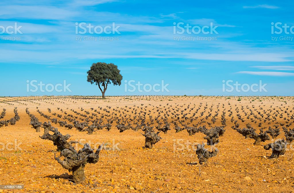 Wine, vineyards tree field with blue sky. stock photo