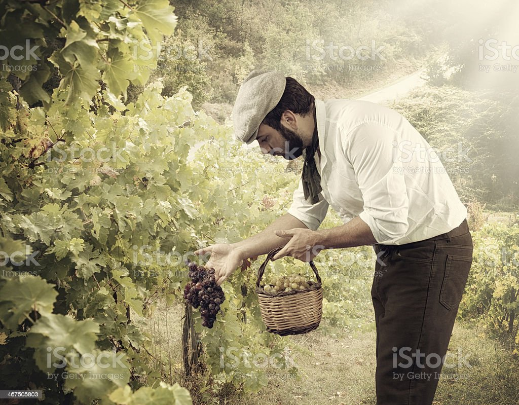 Winegrower while harvesting grapes stock photo
