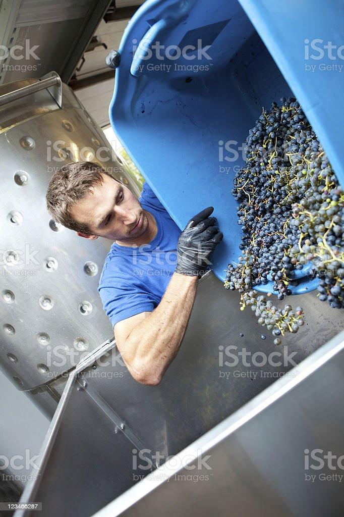 Winemaker crushing grapes stock photo