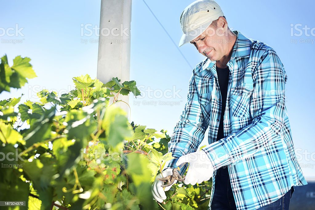 Winemaker cuts twigs stock photo