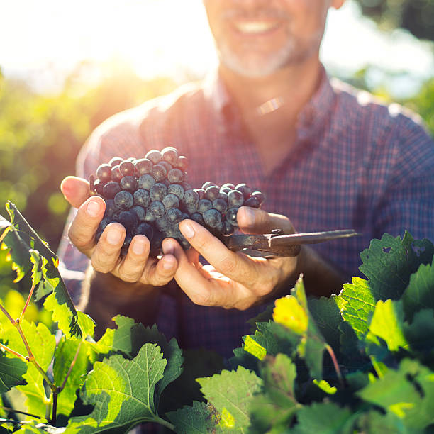 Winemaker harvesting grapes stock photo