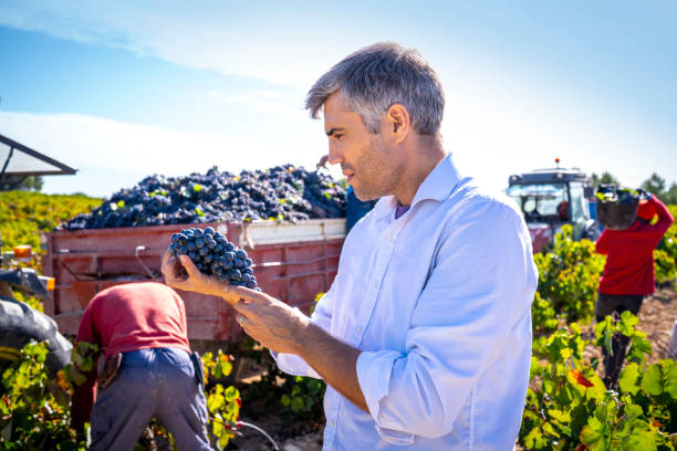 Winemaker oenologist holding red wine grapes at grape harvest Winemaker oenologist holding red wine grapes at grape harvest in Mediterranean vineyards producer stock pictures, royalty-free photos & images