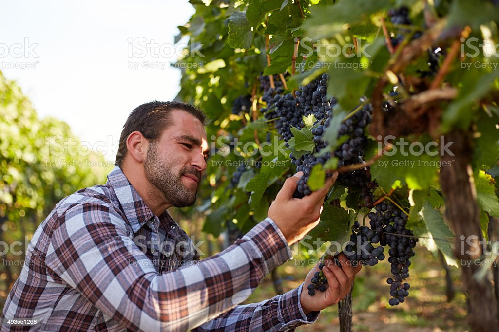 Winemaker picking blue grapes stock photo