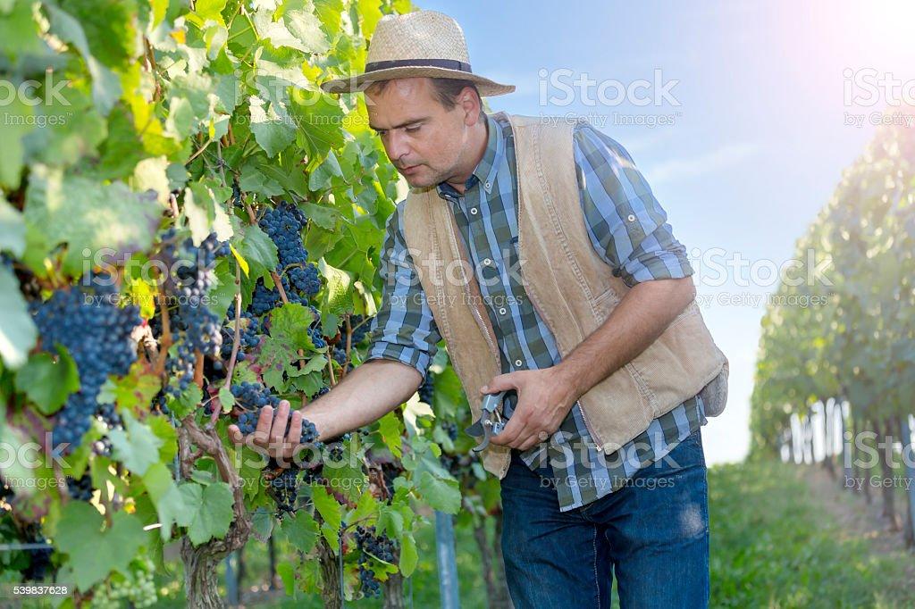 Enólogo trabajo en el Viñedo - foto de stock