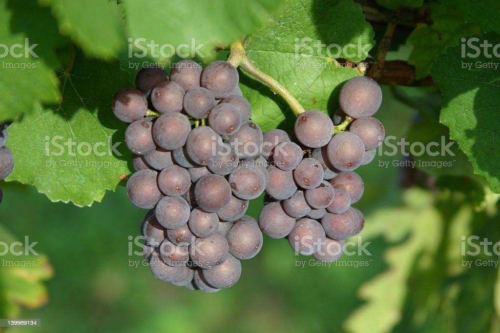 Wine-making royalty-free stock photo