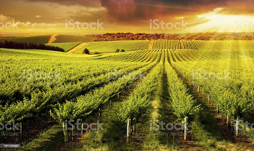 Winery Gold stock photo
