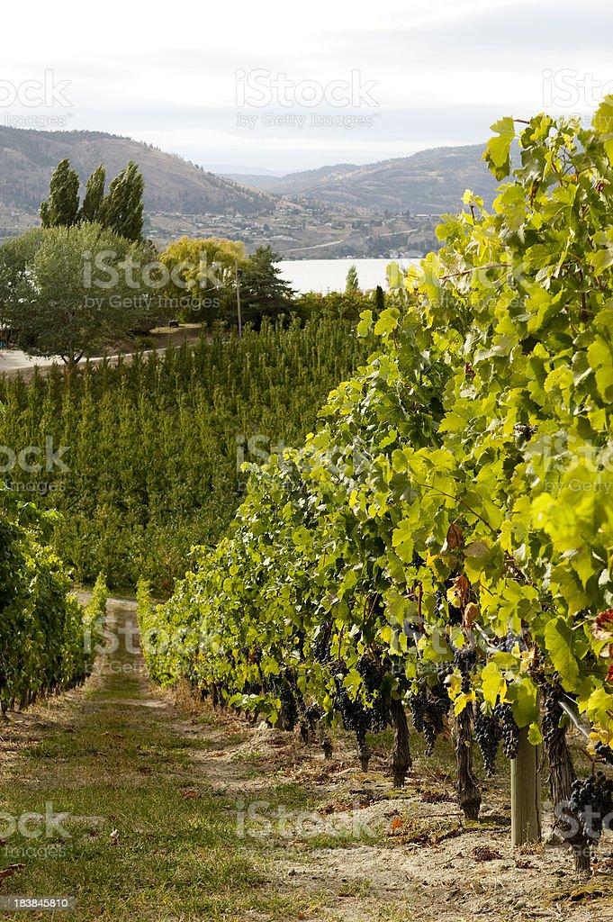 vineyard overlooking okanagan lake in naramata