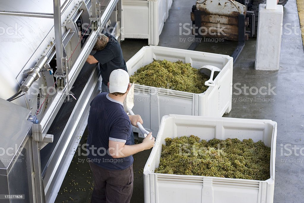 Winery workers loading grapes royalty-free stock photo