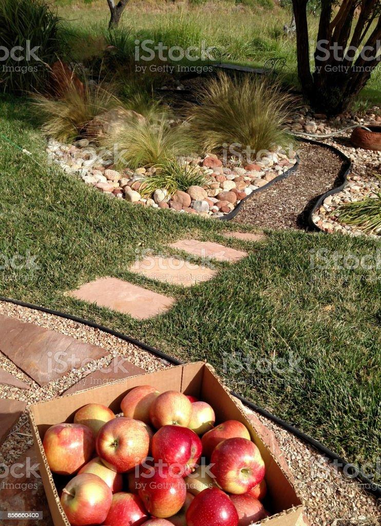 Winesap apples just picked on farm in Rockville Utah stock photo