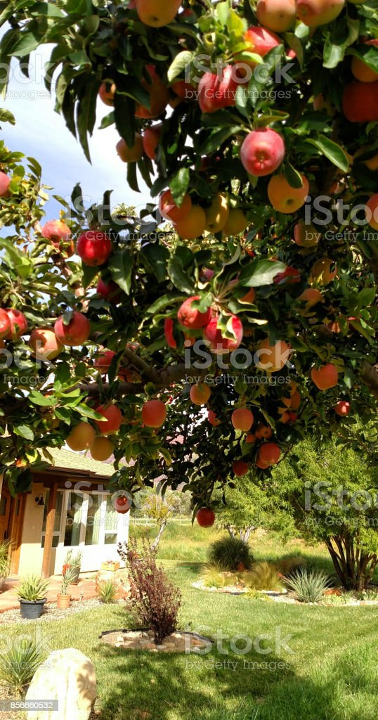 Winesap heirloom apples on fruit tree on farm in Rockville Utah stock photo