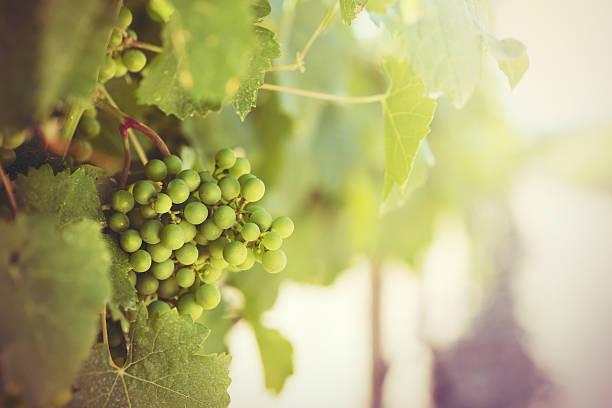 Wineyard and grapes stock photo