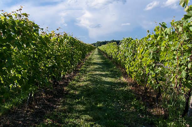 wineyards stock photo