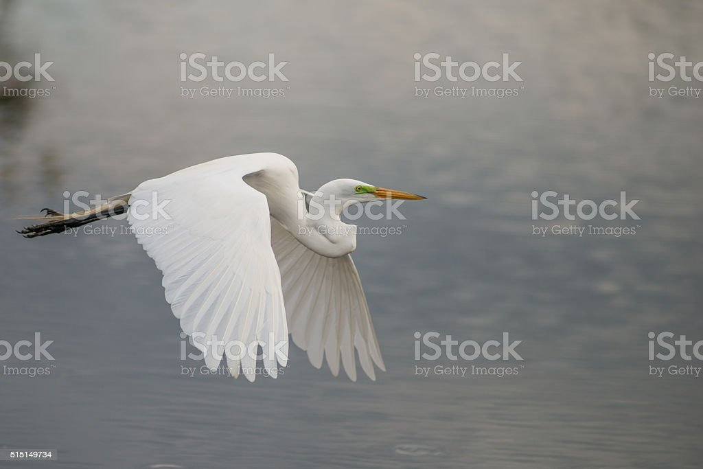 Wing Flapping Heron stock photo