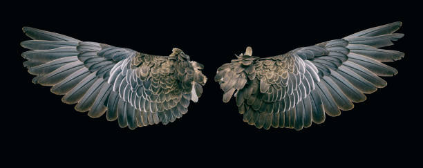 Wing of bird pair wide open isolated on black stock photo