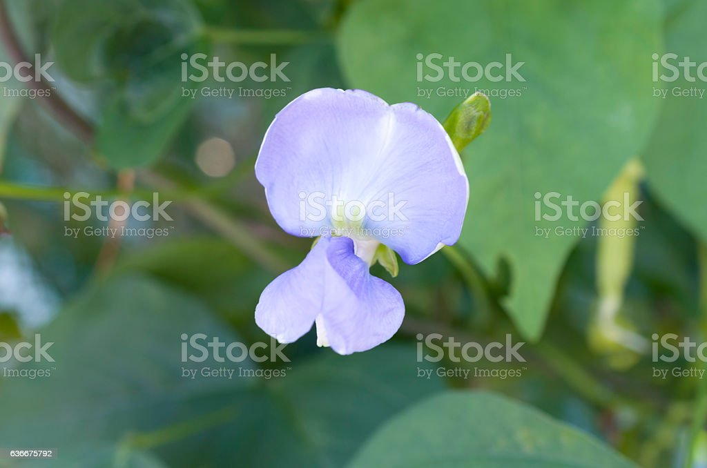 Winged bean flower stock photo