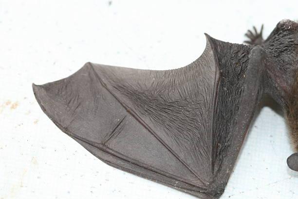 Wing´s bat stock photo