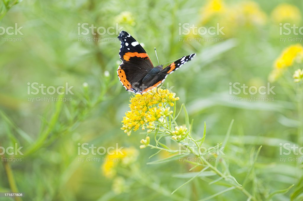 Wings of a Red Admiral stock photo