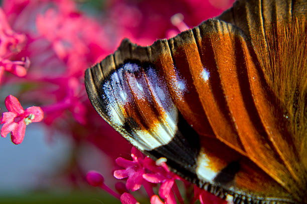 wings offreedom butterfly abjure stock pictures, royalty-free photos & images