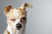"""Chihuahua winks as if to say """"okay"""""""