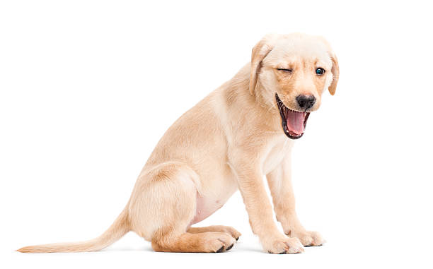 Winking Labrador Retriever Puppy Labrador Retriever Puppy, Winking and Smiling. Isolated on a White Background cub stock pictures, royalty-free photos & images